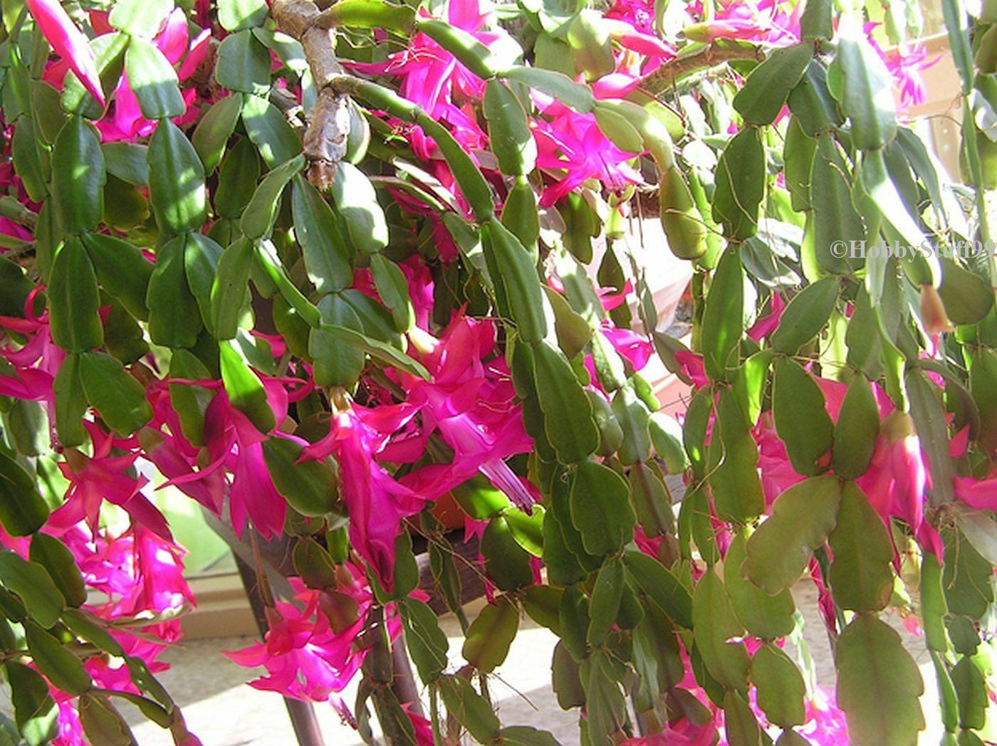 ✤ 3 Trumpet Vine Bare Root Plants Dormant Campsis radicans 2 Yrs Old
