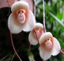 Rare Monkey Face Orchid Flower Seeds Plant Seed Bonsai New Arrival 10PCs :)