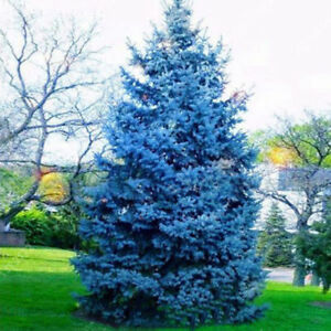 Colorado-Blue-Spruce-Picea-Pungens-Glauca-Tree-Seeds-50-Seeds