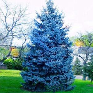 """Image result for blue spruce"""""""
