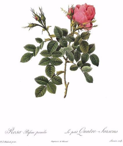 "1990 Vintage REDOUTE ROSE /""DWARF FOUR SEASONS/"" PINK Color Art Print Lithograph"
