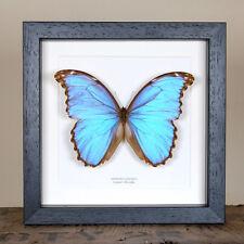 Godart's Morpho Butterfly. Real Framed Butterfly