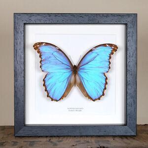 Image Is Loading Godart S Morpho Butterfly Real Framed Butterfly Entomology