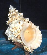 """7 to 8"""" PACIFIC LAMPAS, FROG  SEA SHELL SPECIAL PURCHASE, BEACH DECOR NAUTICAL"""