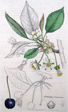 Sauerkirsche Kirsche Kupferstich Sowerby 1800 Prunus cerasus sour cherry