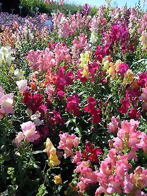 Flower - Antirrhinum - Crown Mixture - 1500 Seeds
