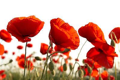 papaver Rhoeas Intelligent 3000 Graines De Coquelicot Rouge x233 Corn Poppy Seeds Samen Semi Meticulous Dyeing Processes