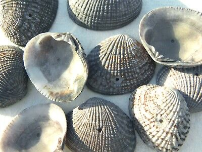 30 Green Grey Money Cowries Shells with Drilled Hole Seashell