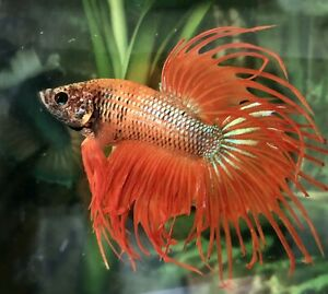 "betta fish male giant crown tail orange size BO 2"""