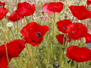 10-000-American-Legion-Poppy-Seeds-FLOWER-SEEDS