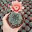 Gymnocalycium baldianum cactus Succulent plants Home Garden Bonsai Garden Deco