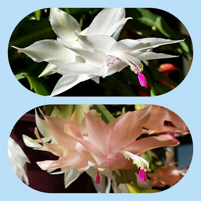 Peach and Pink 2 Christmas Cactus Starter Plants Schlumbergera