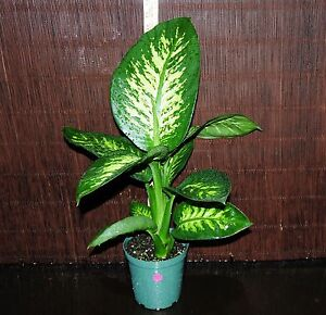 Image is loading New Item Dieffenbachia Tropic Snow LARGE 6 034  Pots Tropical House