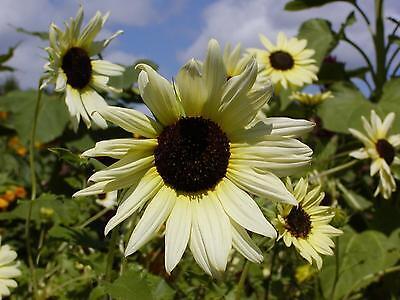 FLOWER SUNFLOWER VANILLA ICE 70 FINEST SEEDS