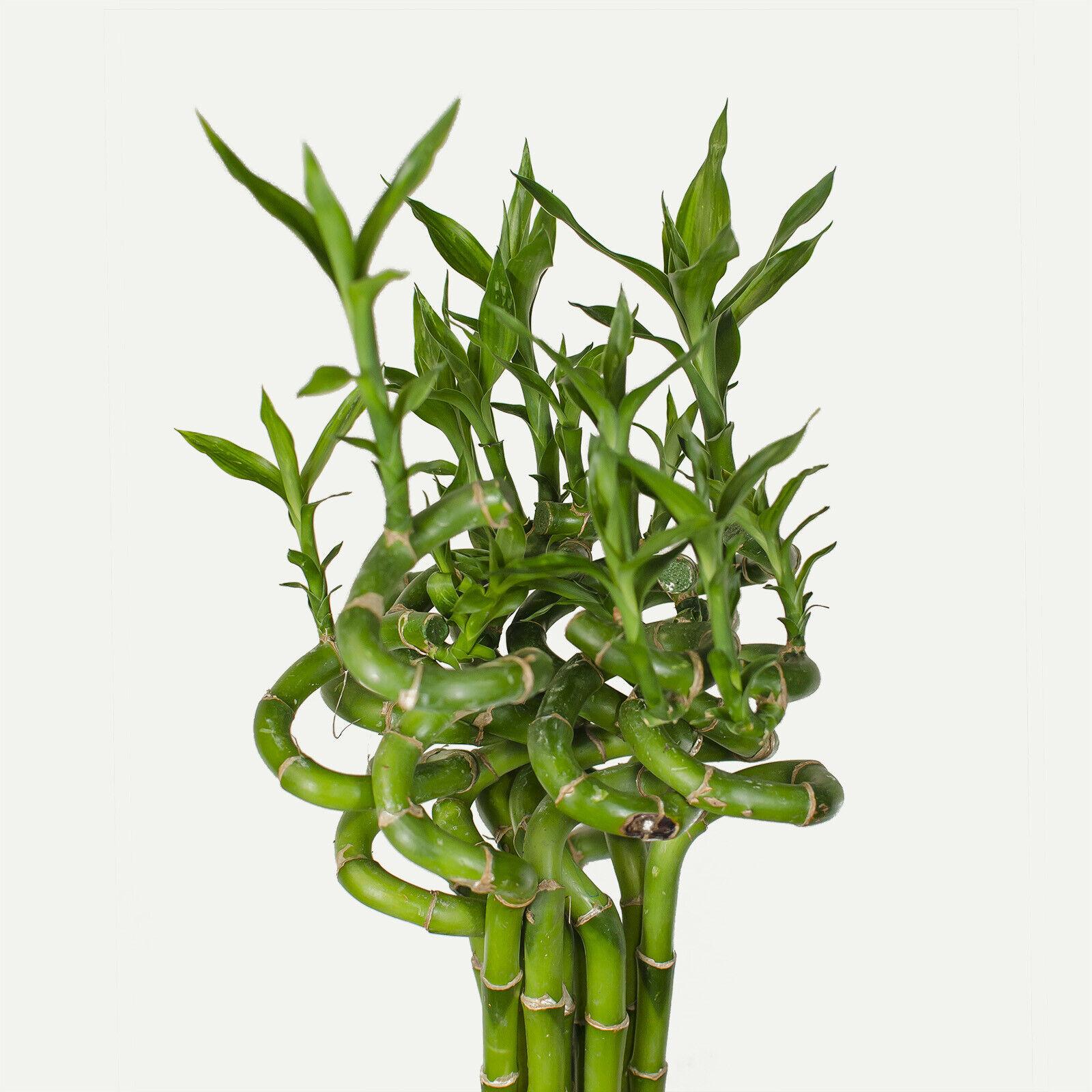 10stück Lucky Bambú sanderiana dracaena bambú de la suerte 100cm Largo