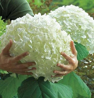 20 Seeds White Hydrangea Plant Flower Garden Pot Unique Rare Giant DIY Seed New