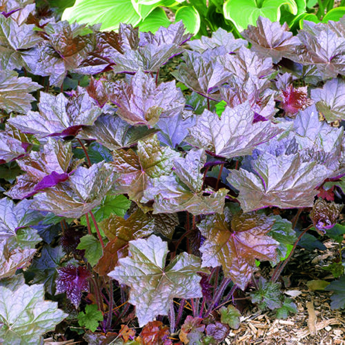 Heuchera-Bressington Hybrides - 1000 graines