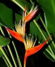 NEW HELICONIA GUYANA LIVE RHIZOME TROPICAL