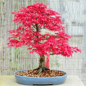 10 Red Japanese Maple Seeds Acer Palmatum Atropurpureum Bonsai Maple Tree Combsh Ebay