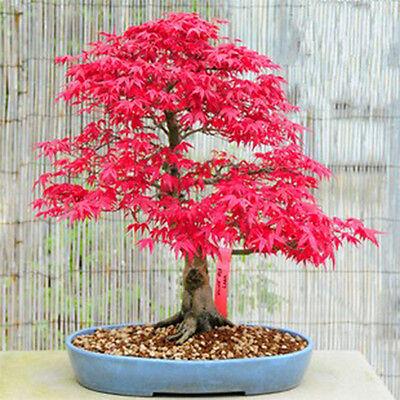 10 Red Japanese Maple Seeds Acer Palmatum Atropurpureum Bonsai Maple
