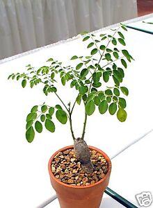 8-graines-de-NEVERDIER-Moringa-Oleifera-CAUDEX-G129-MIRACLE-TREE-SEEDS-SEMILLAS