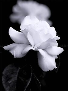 3991c7016 NATURE BLACK WHITE ROSE PETAL FLOWER POSTER ART PRINT PICTURE BB98A ...