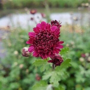Feuerzauber Winteraster Chrysanthemum X Hortorum Herbst