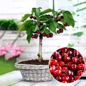 20PCs Cherry Seeds Organic Seeds Fruit Seeds Bonsai Tree High seed in the Garden