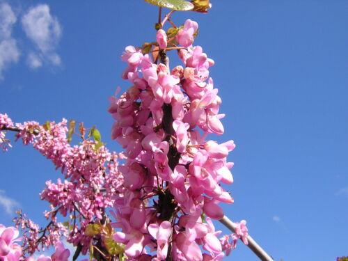 CERCIS SILIQUASTRUM 25 semi seeds Love tree albero di Giuda bella fioritura!!