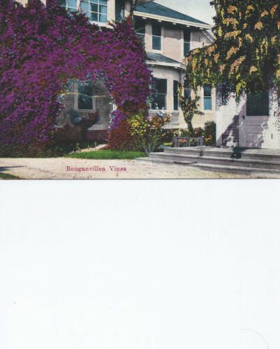 Bouganvillea Vines California Postcard 41613