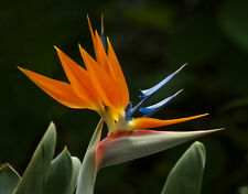 CRANE FLOWER PLANT, Strelitzia Reginae flowering Bird of Paradise seed 15 seeds