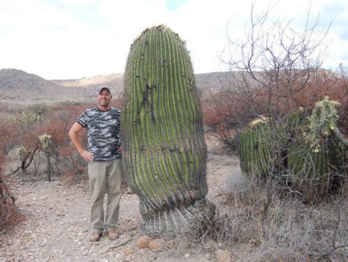 Cactus Samen Semi Korn 種子 씨앗  Семена 5-250 SEEDS Echinocactus Platyacanthus