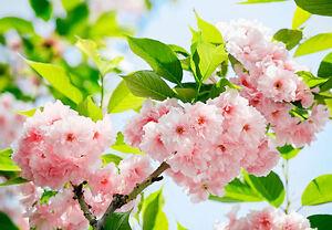decoration-murale-fleurs-roses-sur-arbre-Papier-peint-photo