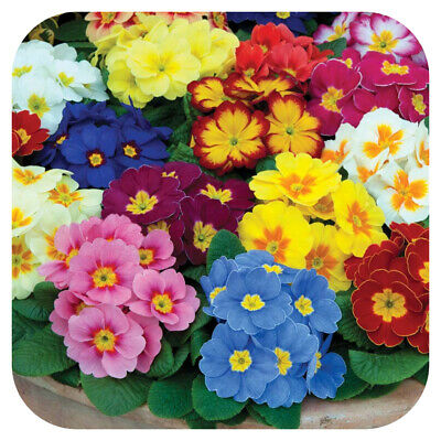 Primrose Polyanthus Supernova Mixed x 15 Mini Bedding Plug Plants ...