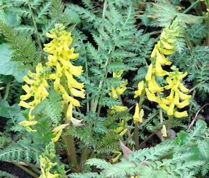 CORYDALIS-FERNY-Corydalis-Cheilanthifolia-100-Bulk-Seeds