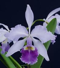"""Cattleya warscewiczii coerulea blue species orchid plant 7-11"""" flowers"""