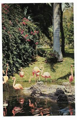 Details about  /Postcard FL Jungle Gardens Sarasota Florida Vintage Chrome Girl Flamingos VTG