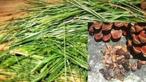 15.8oz Pine Tree Needles LIVE TREE or SEEDS cuttings Pinus Pinea Pinus pinaster