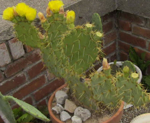 3 pads Mexican very spiny Prickly Pear Cactus
