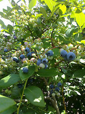3 Variety Blueberry Seeds North Highbush Mix, Bluecrop, and Blueray Varieties