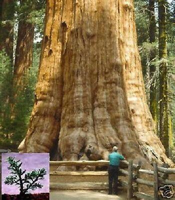 Bergmammutbaum Sequoia - Der riesigste Baum der Welt auch als Bonsai superschön