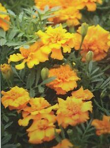 "6 Live Plants ""HERO GOLD"" Marigold Starter Peat Pots Compact Golden Yellow Bloom"