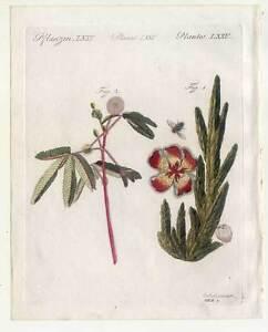 Aasblume-Mimose-Blumen-Pflanzen-Bertuch-Kupferstich-1810