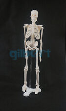 45cm Human Anatomical Anatomy Skeleton Model Medical Poster Medical Learn Aid