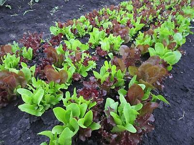 VEGETABLE  LETTUCE GOURMET LOOSELEAF CUTTING MIX  1500 SEEDS