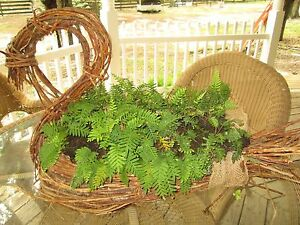 Set-of-2-resurrection-Ferns-when-dead-they-can-come-back-to-life-reduced-price