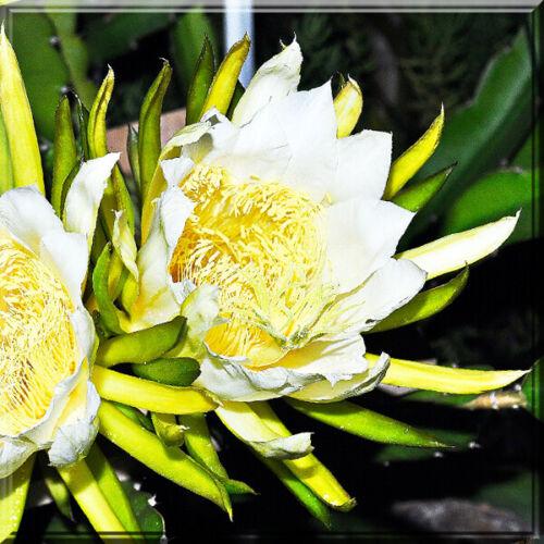 Dragon Fruit Hylocereus Undatus Cactus White Flower pot Live Plant
