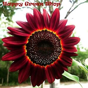 SUNFLOWER-RED-Moulin-Rouge-20-seeds-Helianthus-annuus-tall-Annual-Flower