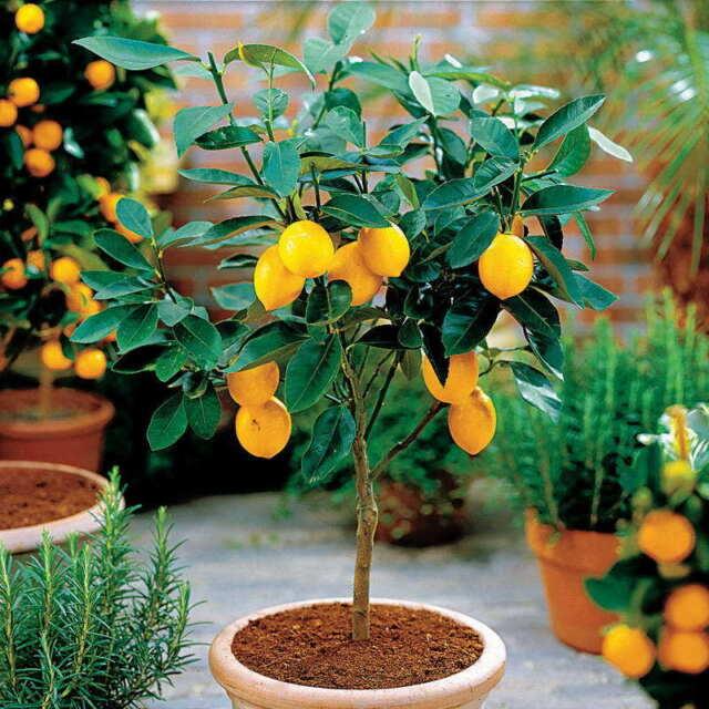 50 Seeds Dwarf Meyer Lemon Tree Indoor Outdoor