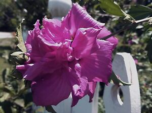 Hibiscus Syriacus Ardens Double Purple Pint Plant Free Shipping Ebay